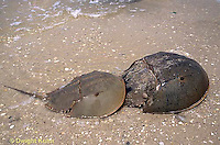 1Y47-205x  Horseshoe Crab - male holding female, mating on beach at high spring tide -  Limulus polyphemus