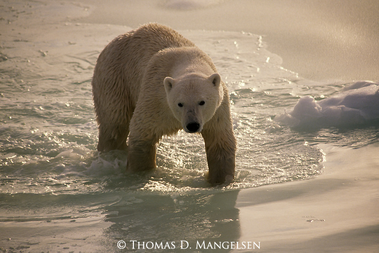 A polar bear walks through icy water.