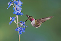 Broad-tailed Hummingbird, Selasphorus platycercus,male in flight feeding on Larkspur flower(Delphinium sp.),Rocky Mountain National Park, Colorado, USA, June 2007