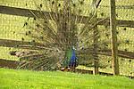 Walnut Run Farm. Peacock displaying.