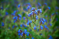Variety of Forget-Me-Not. Along Imnaha River, Eastern Oregon. Hells Canyon National Recreation Area, Oregon