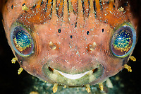 Balloonfish, Diodon holocanthus, Lembeh Strait, Sulawesi, Indonesia, Pacific Ocean
