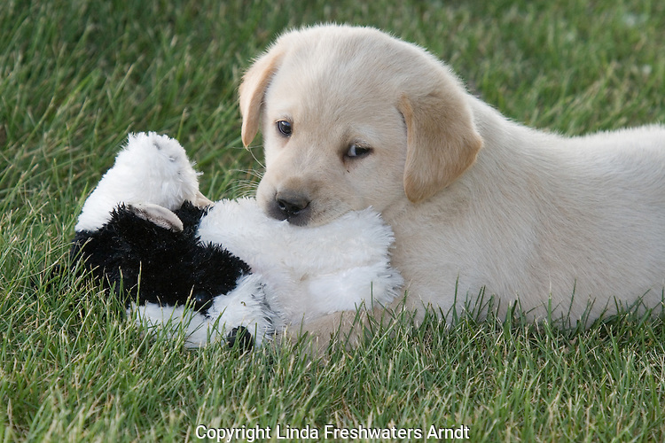 Yellow Labrador retriever (AKC) biting a toy stuffed dog