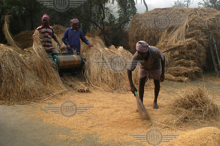 Men threshing rice at a farm in the Sunderbans.