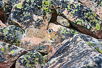 American pika (Ochotona princeps) jumping between boulders in it alpine talus slope home.  Beartooth Mountains, Wyoming/Montana.  Summer.  This photo was taken in alpine setting at around 11,000 feet (3350 meters) elevation.