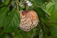 Fruchtfäule, Frucht-Fäule, Pilz an Apfel, Monilia-Fruchtfäule, Kernobstmonilia, Pilzkrankheit, Pilzkrankheiten, Monilia fructigena, Monilinia fructigena, Brown rot, Obst, Malus domesticus