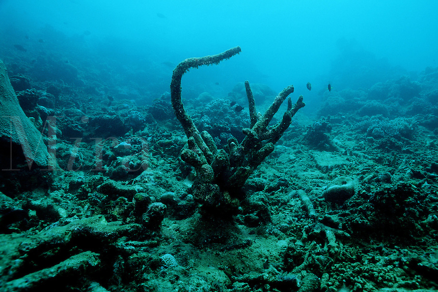 "Rising ocean temperatures killed much of this coral reef, leaving only the ""bleached"" coral skeleton . Coral only thrives in a narrow temperature range, Fiji, Indo-Pacific"