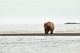 ALASKA, Homer, a large grizzly bear hunts for clams in the wide open landscape of the Katmai National Park, Katmai Peninsula, Gulf of Alaska