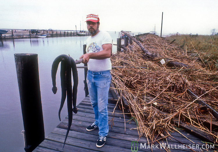Snakes killed in the mat of reeds that lead in to shore from the boat in the Apalachicola boat basin after Hurricane Kate.   The water was was over the top of the posts where he's holding the snakes now but you can see his boat in the background (and others) that are 9 to 12 feet lower after Hurricane Kate in November 21,1985.  Kate, a late November Hurricane,  was latest forming Atlantic hurricane on record at the time and was the second for the area following Hurricane Elena two months earlier.