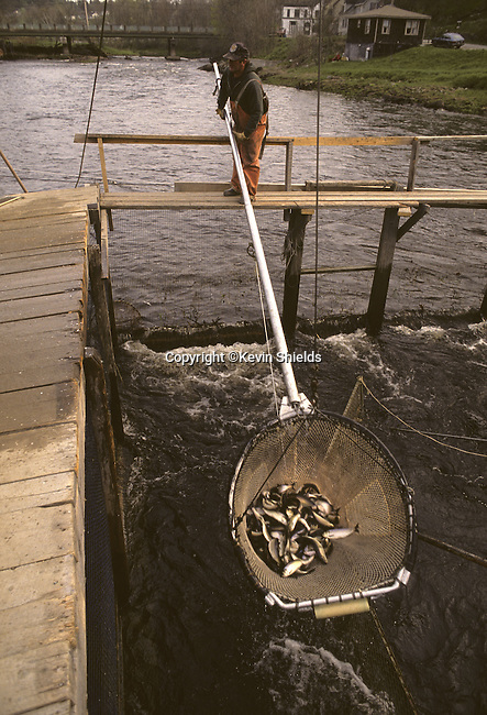 Alewives, a migratory fish used as lobster bait, being harvested from the St George River, Warren, Maine, USA
