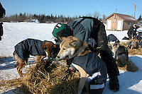 Zack Steer lays straw down for his dogs, Juneau and Solomon, at Nikolai. Photo by Jon Little.