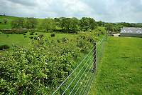 Newly planted thorn hedge protected by a wire fence near Slaidburn, Lancashire.....Copyright..John Eveson, Dinkling Green Farm, Whitewell, Clitheroe, Lancashire. BB7 3BN.01995 61280. 07973 482705.j.r.eveson@btinternet.com.www.johneveson.com