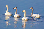 Trumpeter Swans in early spring in Montana on a shallow pond at Lee Metcalf Wildlife Refuge in the Bitterroot Valley