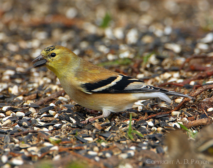 Adult male American goldfinch in December