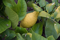 Lemon in a greenhouse, Chipping, Lancshire.