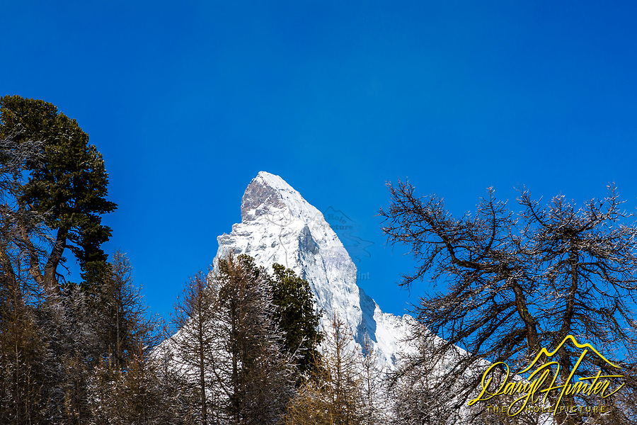 Framed by the trees, the Matterhorn pierces the cobalt blue sky of Zermatt Switzerland high in the Swiss Alps.