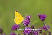 03074-00517 Orange Sulphur Butterfly (Colias eurytheme) on Missouri Ironweed (Veronia missurica), Marion Co., IL