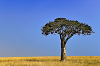 Single Acacia tree on grassy plains, Masai Mara, Kenya, Africa