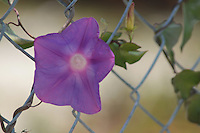 purple blossom amongst a fence