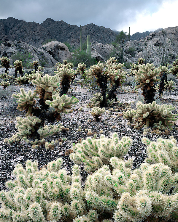 Cholla cacti in the Tinajas Altas Mountains; Cabeza Prieta National Wildlife Refuge, AZ
