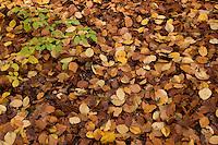 Laubschicht auf Waldboden, Bodenstreu, Laubstreu, Streuschicht, Buchenblätter, Rot-Buche, Buche, Fagus sylvatica, Beech
