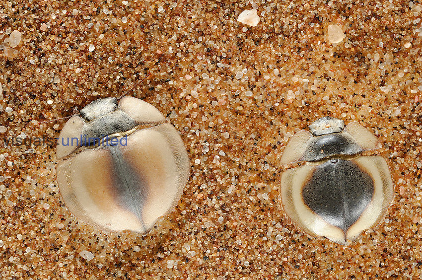 Trenchdiggers (Lepidochora), Namib Desert, Namibia. These Tenebrionid Beetles build trenches in the sand dune to collect condensed fog and provide them with moisture.