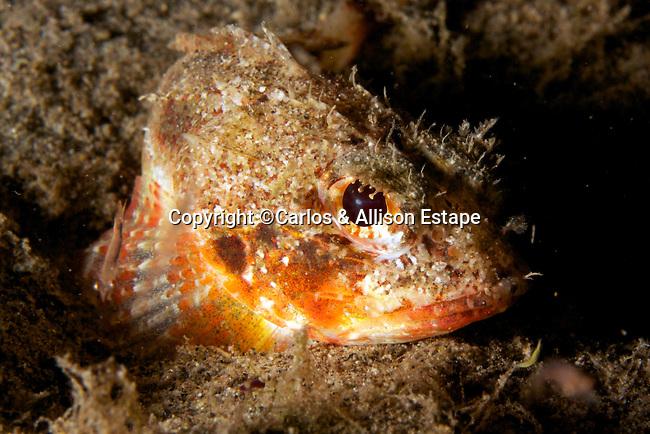 Mushroom scorpionfish, Scorpaena inermis, Dominica