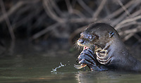 A giant otter munches on a fish in the southern Amazon.