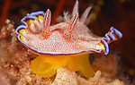 White Spotted Chromodoris, Chromodoris albopunctata, Anilao, Batangas, Philippines, Amazing underwater Photography