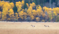 A pronghorn buck chases after a female.