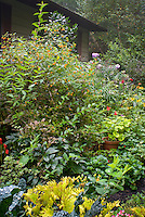 Tall plant of Impatiens capensis, Native American annual wildflower, Orange Jewelweed, in bloom in late summer, Weigela, Solenostemon Coleus, Pelargonium, Phlox paniculata, Arum italicum, Helleborus, house
