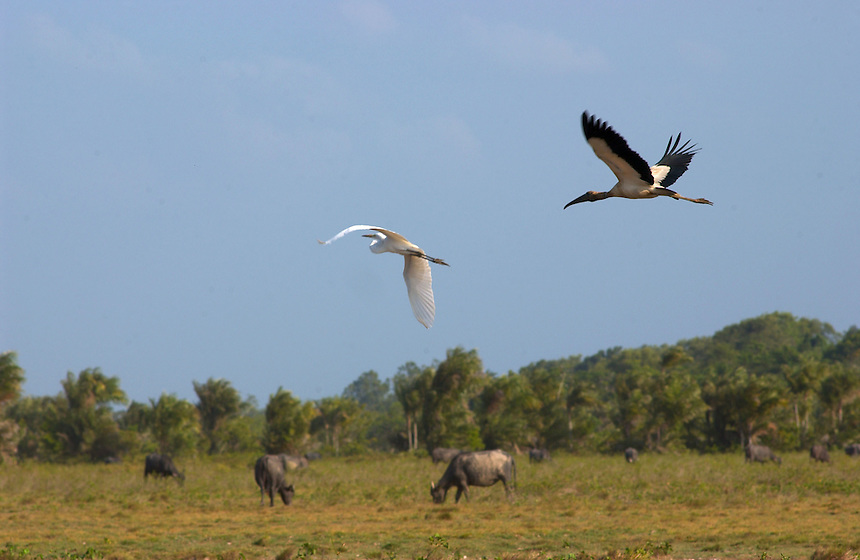 An egret and a crane take to teh air over a herd of grazing water buffalo on the island of Marajo (acute accent on the final o). The size of Switzerland, Marajo is a vast expanse of wilderness and cattle and water buffalo ranches, offering a close look at rural life in equatorial Brazil. (Kevin Moloney for the New York Times)