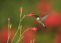 Ruby-throated Hummingbird (Archilochus colubris), male feeding on red flower, Hill Country, Central Texas, USA