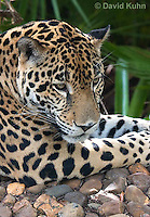 0615-1105  Jaguar, Belize, Panthera onca  © David Kuhn/Dwight Kuhn Photography