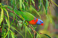 Rainbow Lorikeet (Trichoglossus haematodu), adult in tree, Australia