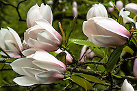Magnolia Blossoms, Seattle, Washington