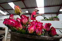 A worker sorts and packs the roses in the packaging hall of a flower farm in Cayambe, Ecuador, 29 June 2010. South American countries (Colombia and Ecuador) are world leaders in cut flower industry. The advantage of the moderate sunny climate, very cheap labor force in combination with the absence of social laws and environmental regulations have created perfect conditions for the cut flower production. Flower growing is very fragile and necessarily depends on irrigation and chemical maintenance, provided by highly toxic pesticides. About 50.000 workers in Ecuador, working mainly for living minimum wage, keep the floral industry going and saturate the market generated by consumerist culture the US, Canada and Europe.