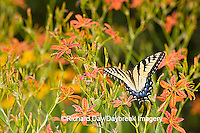 03023-02514 Eastern Tiger Swallowtail (Papilio glaucus) on Blackberry Lily (Belamcanda chinensis)   Marion Co.  IL