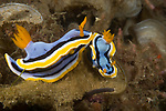Anna's Chromodoris, Chromodoris annae, Indonesia, Lembeh, Lembeh Straits, nudibranch behavior, Underwater macro marine life images, underwater marine life. Nudibranchs trailing