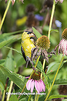 01640-16218 American Goldfinch (Spinus tristis) male eating Purple Coneflower seeds., Marion Co., IL