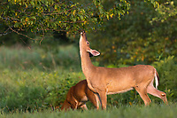 White-tailed doe working a licking limb