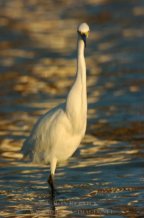 Snowy Egret at Sunrise Frontal Portrait Head-on Sanibel Island Florida