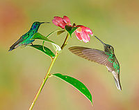 Mexican violetear (Colibri thalassinus) and Fiery-throated hummingbird (Panterpe insignis) in flight, drink nectar on pink flower, Costa Rica, Central America