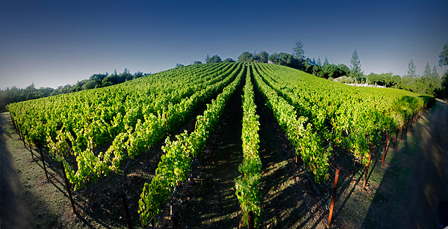 St. Helena vineyard
