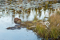 Young North American Beaver (Castor canadensis) at communal feeding area along edge of pond.  Northern Rockies,  Fall.  Beaver often have a regular (usually several) feeding area within their home territory where they will bring small limbs to feed on.