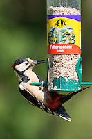 Buntspecht an der Vogelfütterung, Futtersilo, Bunt-Specht Specht, Spechte, Dendrocopos major, Great Spotted Woodpecker, Woodpeckers. Pic épeiche. Ganzjahresfütterung, Vögel füttern im ganzen Jahr, Vogelfutter der Firma GEVO
