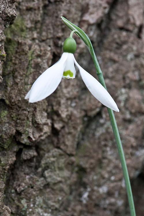 Snowdrop (Galanthus 'Lynne'), mid March.