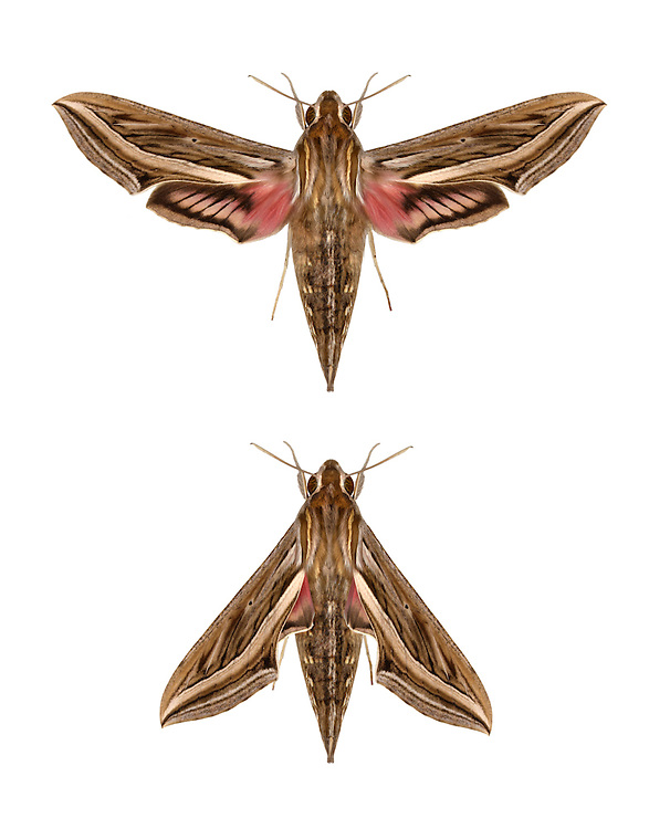 69.018 (1993)<br /> Silver-striped Hawk-moth - Hippotion celerio