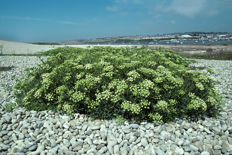 ROCK-SAMPHIRE Crithmum maritimum (Apiaceae) Height to 40cm<br /> Spreading, branched and hairless perennial. Characteristic of maritime rocky habitats and stabilised coastal shingle. FLOWERS are greenish yellow and borne in umbels, 3-6cm across, with 8-30 rays and numerous bracts (Jun-Sep). FRUITS are egg-shaped, ridged and corky. LEAVES are divided into narrow, fleshy lobes, triangular in cross-section.
