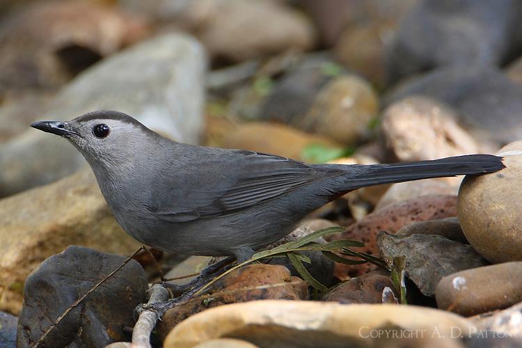 Gray catbird at edge of stream